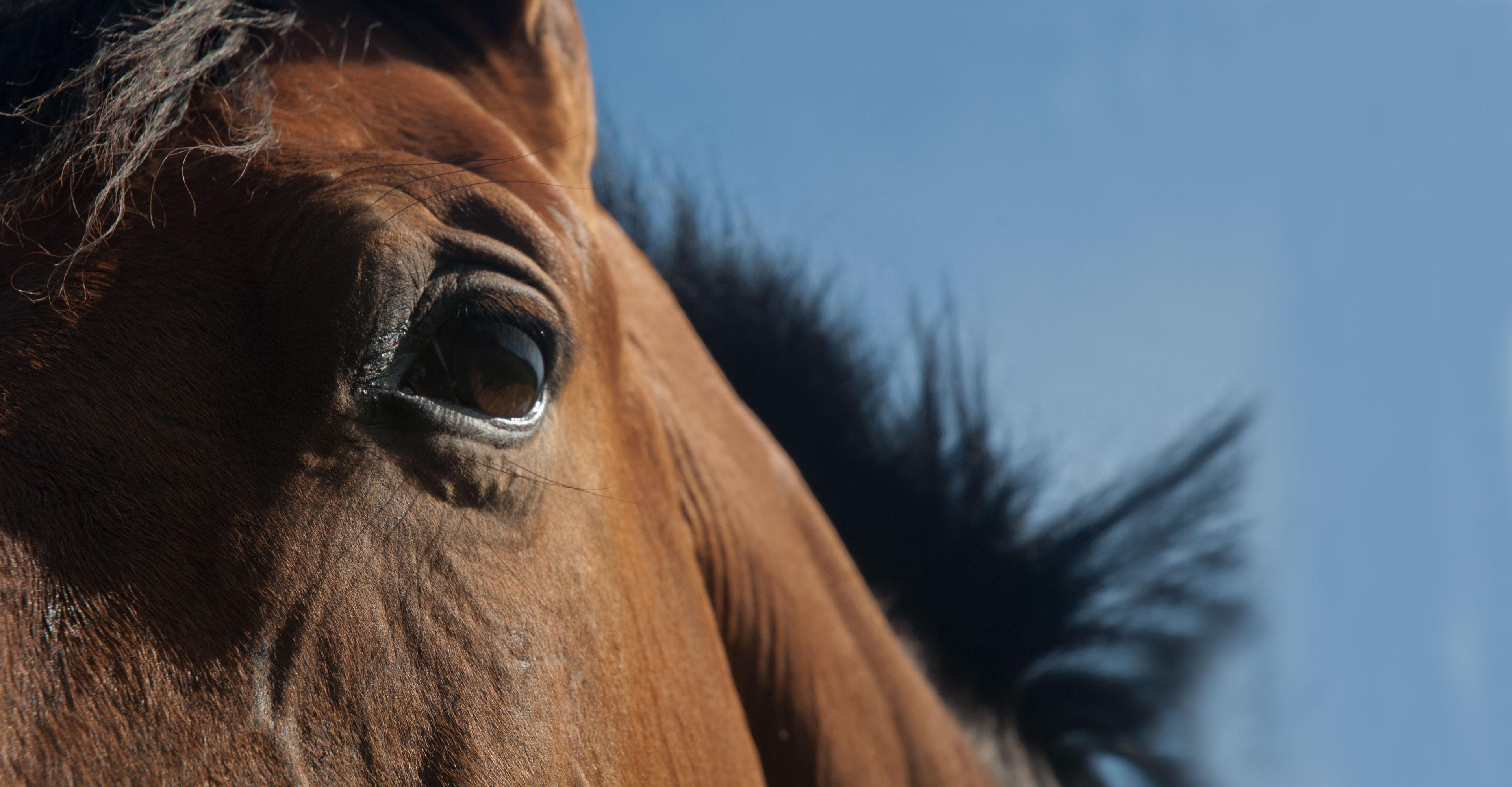 Cluse up horse eye